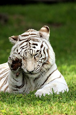 Bengal tiger or Royal Bengal tiger (Panthera tigris tigris), adult, India, Asia