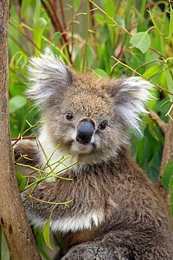 Koala (Phascolarctos cinereus), portrait, adult in tree feeding on Eucalyptus, Australia