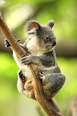 Koala (Phascolarctos cinereus), adult in tree, Australia