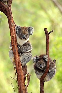 Koala (Phascolarctos cinereus), adult couple, tree, Australia