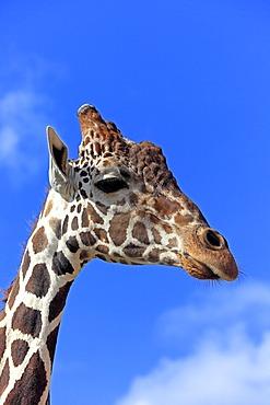 Somali Giraffe or Reticulated Giraffe (Giraffa camelopardalis reticulata), adult, portrait, Africa