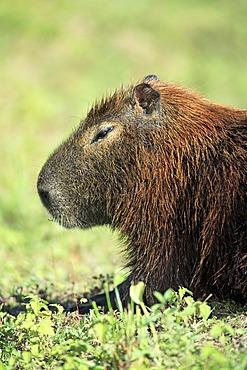 Capybara (Hydrochoerus hydrochaeris), adult, portrait, resting, Pantanal wetland, Brazil, South America