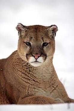 Cougar (Felis concolor), adult, lying, portrait, snow, winter, Montana, USA