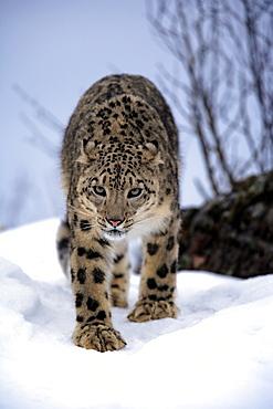 Snow Leopard, Uncia uncia, Asia, adult, walking, walk, snow, winter, vertical, leopard, leopards, cat, cats, predator, predators, carnivore, carnivores, beast of prey, beasts of prey, mammal, mammals, animal, animals, wild, wildlife, outdoor, outdoors, ou