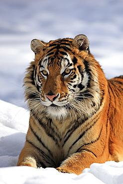 Siberian Tiger (Panthera tigris altaica), portrait, snow, winter, Asia