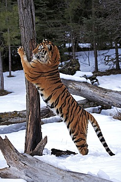 Siberian Tiger (Panthera tigris altaica), sharpening claws on tree, snow, winter, Asia