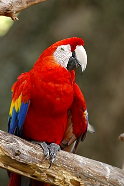 Scarlet Macaw (Ara macao), adult, perched, South America