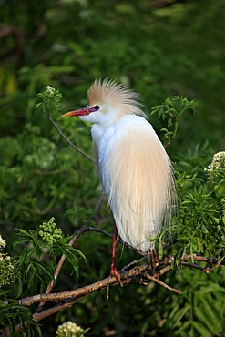 Cattle egret (Bubulcus ibis), adult on tree, Florida, USA