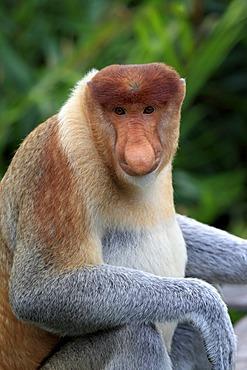 Proboscis Monkey or Long-nosed monkey (Nasalis larvatus), male, Labuk Bay, Sabah, Borneo, Malaysia, Asia