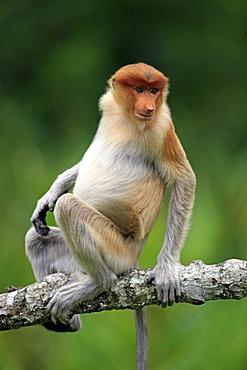 Proboscis Monkey or Long-nosed monkey (Nasalis larvatus), male, on tree, Labuk Bay, Sabah, Borneo, Malaysia, Asia