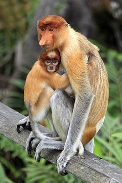 Proboscis Monkey or Long-nosed monkey (Nasalis larvatus), mother with young, Labuk Bay, Sabah, Borneo, Malaysia, Asia