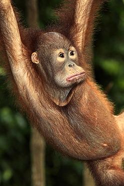 Orangutan (Pongo pygmaeus), young, portrait, Singapore, Asia