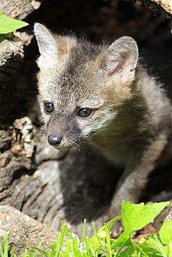 Gray fox (Urocyon cinereoargenteus), kit, nine weeks old, looking out of a tree trunk, Montana, USA, North America