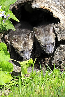 Gray foxes (Urocyon cinereoargenteus), two kits, nine weeks old, looking out of a tree trunk, Montana, USA, North America