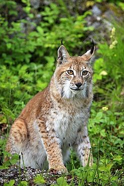 Eurasian Lynx (Lynx lynx), female, adult, Montana, USA, North America