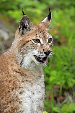 Eurasian Lynx (Lynx lynx), portrait, female, adult, Montana, USA, North America
