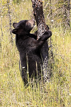 American Black Bear (Ursus americanus), cub, six months, Montana, USA, North America