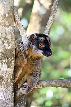 Brown Lemur (Eulemur fulvus), Andasibe Reserve, Perinet Reserve, Madagascar, Africa