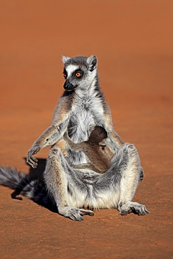 Ring-tailed Lemur (Lemur catta), mother with young, sunbathing, Berenty Reserve, Madagascar, Africa