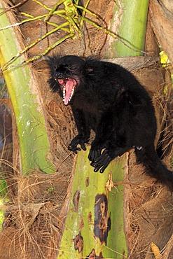 Black Lemur (Eulemur macaco), male adult, yawning, Nosy Komba, Madagascar, Africa