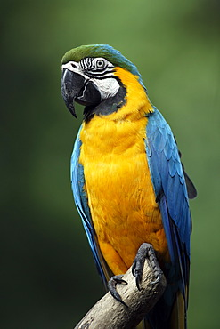 Blue-and-Yellow Macaw or Blue-and-Gold Macaw (Ara ararauna), adult, South America