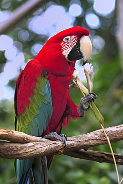 Green Macaw (Ara chloroptera), adult, perched on the branch of a tree, eating, in captivity, Florida, USA