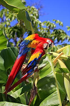 Scarlet Macaw (Ara macao), adult pair on banana tree, Roatan, Honduras, Caribbean, Central America, Latin America
