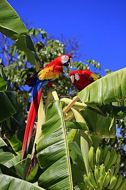 Scarlet Macaw (Ara macao), adult pair on a banana tree, Roatan, Honduras, Caribbean, Central America, Latin America