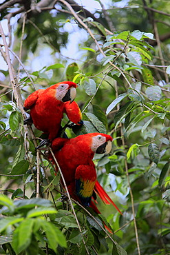 Scarlet Macaw (Ara macao), adult pair on a tree, Roatan, Honduras, Caribbean, Central America, Latin America