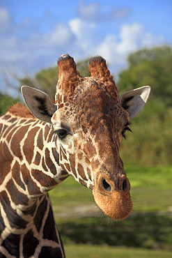 Reticulated Giraffe (Giraffa camelopardalis reticulata), adult, portrait, in captivity, Florida, USA