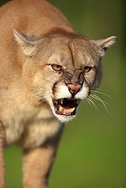 Cougar or Puma (Puma concolor, Felis concolor), adult, spitting, threatening, Minnesota, USA