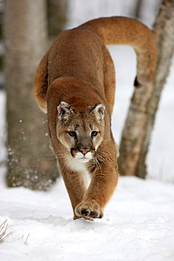 Cougar or Puma (Puma concolor, Felis concolor), adult, hunting in the snow, Montana, USA