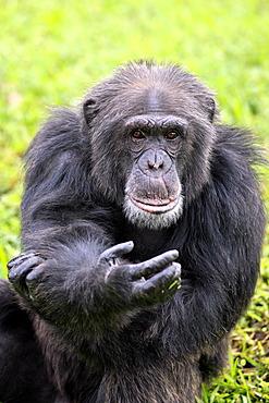 Chimpanzee (Pan troglodytes troglodytes), male, begging, captive, Florida, USA