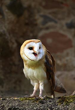 Barn owl (Tyto alba), adult, calling, Germany, Europe