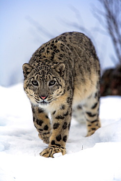 Snow leopard (Uncia uncia), adult, snow, captive, Montana, USA