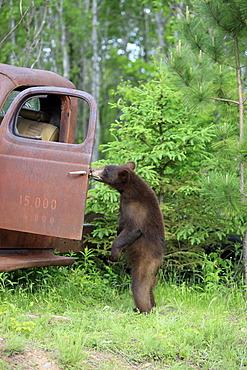American black bear (Ursus americanus), cub, standing upright at car wreck, Minnesota, USA