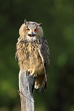 Eagle Owl (Bubo bubo), adult, perched on a look-out, calling, Germany, Europe