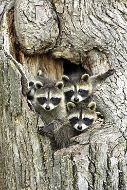 Raccoons (Procyon lotor), kits peeping out of den, portrait, Minnesota, USA