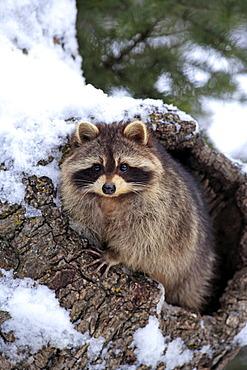 Raccoon (Procyon lotor), snow, den, Montana, USA