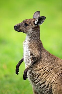 Western Grey Kangaroo (Macropus fuliginosus), young, portrait, Cleland Wildlife Park, South Australia, Australia