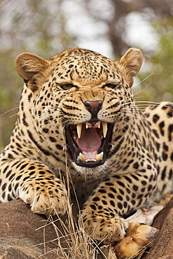 Portrait of a hissing leopard (Panthera pardus), Tshukudu Game Lodge, Hoedspruit, Greater Kruger National Park, Limpopo Province, South Africa