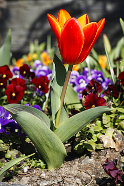 Red Tulip (Tulipa) in colourful flowerbed