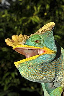 Parson's chameleon (Calumma parsonii), portrait, in the rain forest of southeast Madagascar, Africa, Indian Ocean