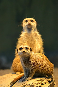 Meerkats or Surikates (Suricata suricatta), native to Africa, in captivity, Baden-Wuerttemberg, Germany, Europe
