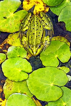 European edible frog, waterfrog (Rana esculenta)