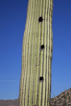 Birds' nests in a Saguaro cactus (Carnegiea gigantea) in Saguaro National Park, Tucson, Arizona, USA