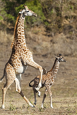 Massai, Maasai, Masai Giraffe or Kilimanjaro Giraffe (Giraffa camelopardalis tippelskirchi), pushing young, Arusha National Park, Tanzania, East Africa, Africa