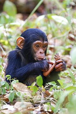 Young Chimpanzee (Pan troglodytes), baby, Mahale Mountains National Park, Tanzania, East Africa, Africa
