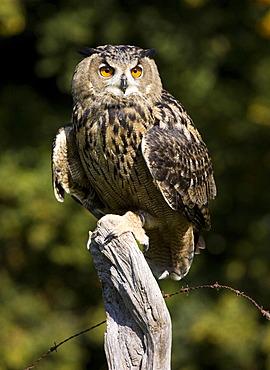 Eagle Owl (Bubo bubo)