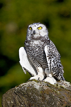 Young Snowy Owl (Bubo scandiacus, Nyctea scandiaca)